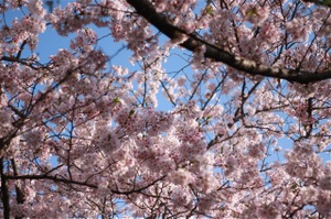 Sakura_l_1