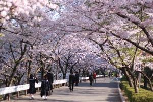 Sakura_l_3