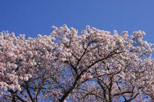 Sakura_l08