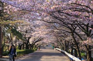 Sakura_l1